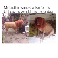 Birthday, Memes, and Lion: My brother wanted a lion for his  birthday so we did this to our dog  @pe  eaneamazing This is amazing 😂 @peopleareamazing @peopleareamazing @peopleareamazing