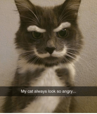 Hipster, Tumblr, and Blog: My cat always look so angry... srsfunny:Hamilton the Hipster Cat