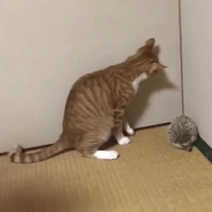 "Hedgehog, How To, and How: ""My cat didn't know how to greet the new hedgehog!"" 😂"