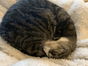 My cat does the cinnamon roll sit, but his head goes upside down on the bottom instead of resting on top: My cat does the cinnamon roll sit, but his head goes upside down on the bottom instead of resting on top