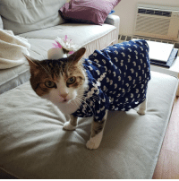 My cat got all dolled up for the royal wedding: My cat got all dolled up for the royal wedding