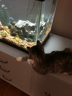 My cat is leaning over the edge of the stand to look at a goldfish. She is currently falling asleep.: My cat is leaning over the edge of the stand to look at a goldfish. She is currently falling asleep.