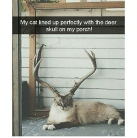 It looks so purrrrfect (@hilarious.ted): My cat lined up perfectly with the deer  skull on my porch! It looks so purrrrfect (@hilarious.ted)