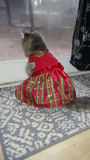 My cats Christmas dress that I never actually thought to post about.: My cats Christmas dress that I never actually thought to post about.