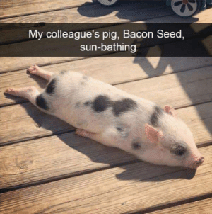 Bacon: My colleague's pig, Bacon Seed,  sun-bathing