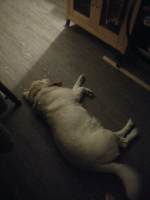 My comfort dog heard me yelling at someone, and knew I was stressed (Red cross work) so he patiently waited for me outside the door for belly rubs: My comfort dog heard me yelling at someone, and knew I was stressed (Red cross work) so he patiently waited for me outside the door for belly rubs
