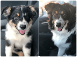 My cute dog Maggie at 11 weeks and then again today at 9 months with the same goofy look on her face: My cute dog Maggie at 11 weeks and then again today at 9 months with the same goofy look on her face