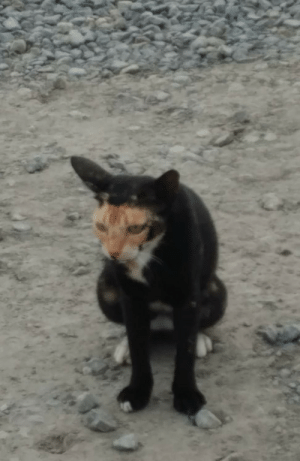 My dad sent me a picture from his jobsite of this cat whose markings make it look like it's being devoured by another goofier cat and is just so bored with the whole situation.: My dad sent me a picture from his jobsite of this cat whose markings make it look like it's being devoured by another goofier cat and is just so bored with the whole situation.