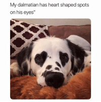 """@funny will make your day much better I promise 😂 (doggo @charlie.the.dalmatian ): My dalmatian has heart shaped spots  on his eyes"""" @funny will make your day much better I promise 😂 (doggo @charlie.the.dalmatian )"""