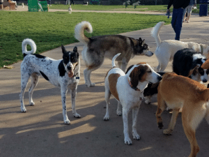 My dog and his pals at the dog park.: My dog and his pals at the dog park.