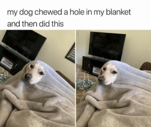 Dank, 🤖, and Dog: my dog chewed a hole in my blanket  and then did this