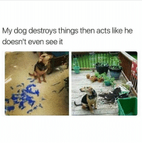Funny, Acting, and How: My dog destroys things then acts like he  doesn't even see it You really need to stop acting like this 😂 this is how @theyamgram 👈🏻👈🏻 dog acts 😂
