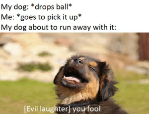 Run, Evil, and Laughter: My dog: *drops ball  Me: *goes to pick it up*  My dog about to run away with it:  [Evil laughter] you fool