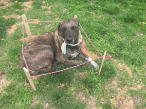 My dog dug up a section of the lawn so I fixed it and then roped it off. Went outside and found her like this.: My dog dug up a section of the lawn so I fixed it and then roped it off. Went outside and found her like this.