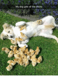 Animals, Funny, and Funny Animals: My dog gets all the chicks Have Some laughs!  #dog memes # funny memes # animal memes # funny animals