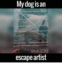 This dog better be called Houdini! 👏👏: My dog is an  escape artist This dog better be called Houdini! 👏👏