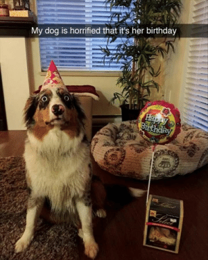 Animals, Birthday, and Funny: My dog is horrified that it's her birthday  Happy  Birthday  Phot  Selci 42 Funny Dog Memes That'll Make Your Day! - Lovely Animals World