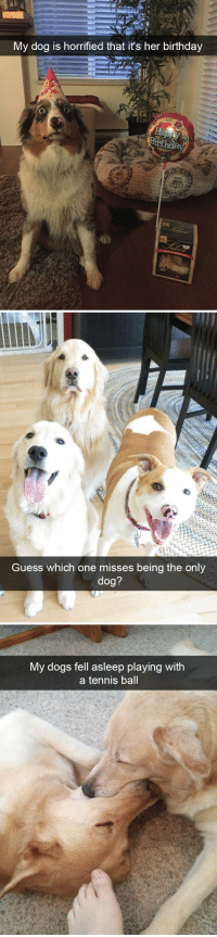 animalsnaps:Dog snaps: My dog is horrified that it's her birthday  th  z991   Guess which one misses being the only  dog?   My dogs fell asleep playing with  a tennis ball animalsnaps:Dog snaps