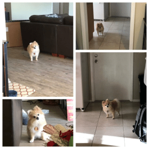 My dog isn't used to me being home during the day and is just staring at me from different places around the house.: My dog isn't used to me being home during the day and is just staring at me from different places around the house.