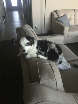 My dog laying on the back of the couch, letting out his inner cat.: My dog laying on the back of the couch, letting out his inner cat.