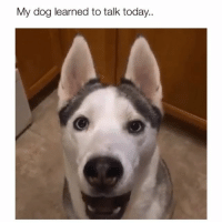 Memes, Good, and Today: My dog learned to talk today.. What a good boy 😂 Credit: @thehuskyjoey