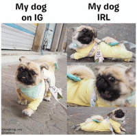 Memes, True, and Irl: My dog  on IG  My dog  IRL  @kingkong vely  @barkbox Raise your hand if this is also true for you... 🤚 . @kingkong_vely screaming pekingese onesie