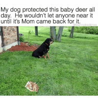 Deer, Memes, and Mom: My dog protected this baby deer all  day. He wouldn't let anyone near it  until it's Mom came back for it.  @teamnobadtimes @teamnobadtimes gives me ALL THE FEELS 😭😭😭