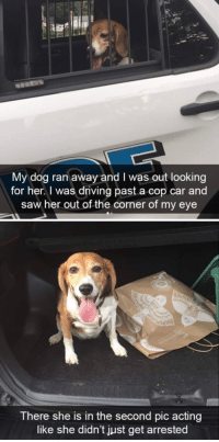 Driving, Saw, and Acting: My dog ran away and I was out looking  for her. I was driving past a cop car and  saw her out of the corner of my eye   There she is in the second pic acting  like she didn't just get arrested