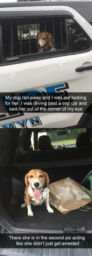Driving, Saw, and Target: My dog ran away and I was out looking  for her. I was driving past a cop car and  saw her out of the corner of my eye  There she is in the second pic acting  like she didn't just get arrested Naughty beagle via @animalsnaps