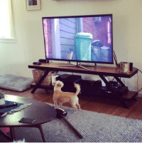 My dog Shooby watching The Secret Life of Pets.: My dog Shooby watching The Secret Life of Pets.