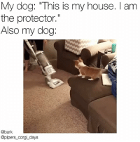 "Corgi, Memes, and My House: My dog: ""This is my house. I am  the protector.""  Also my dog:  @bark  @pipers_corgi_days When human has the audacity to vacuum 🔈 howcouldyou dogpeoplegetit @pipers_corgi_days"