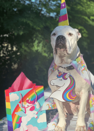 My dog was a magical unicorn today to wish our good friend a happy birthday. He actually looked pretty proud of this one😂: My dog was a magical unicorn today to wish our good friend a happy birthday. He actually looked pretty proud of this one😂