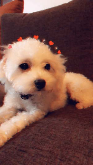 My dog with Snapchat filter: My dog with Snapchat filter