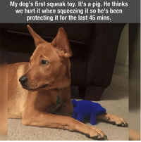 42 Fresh Animal Memes Dump of the Day: My dog's first squeak toy. It's a pig. He thinks  we hurt it when squeezing it so he's been  protecting it for the last 45 mins. 42 Fresh Animal Memes Dump of the Day