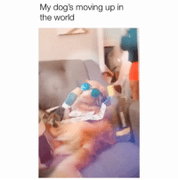 Dogs, Memes, and Girl: My dog's moving up in  the world Coming for ya girl 😂 Credit: @scotmcmaster w- @rudythegoodman