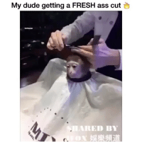 Yo this monkey is straight chillin 🔥😂 - Tag 5 friends that gotta see this 👀💀: My dude getting a FRESH ass cut  RED BY Yo this monkey is straight chillin 🔥😂 - Tag 5 friends that gotta see this 👀💀
