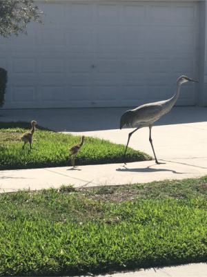 My father took a photo of this Sandhill Crane and its cute babies. I've never seen baby Cranes until today: My father took a photo of this Sandhill Crane and its cute babies. I've never seen baby Cranes until today