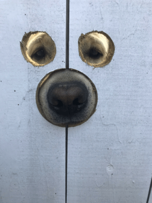 My friend made holes in his gate so Gus the Labrador can see and sniff: My friend made holes in his gate so Gus the Labrador can see and sniff