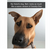 Suave: My friend's dog, Bert, looks so much  like a suave version of Scooby-Doo