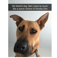 Follow my other account @x__social_butterfly__x for more cute pics ❤: My friend's dog, Bert, looks so much  like a suave version of Scooby-Doo Follow my other account @x__social_butterfly__x for more cute pics ❤