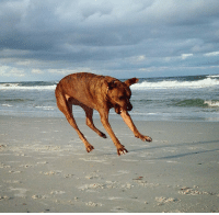 Friends, Scare, and Beach: my friends dog got a scare from a crab on the beach and hit the eject button!