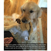 @teamnobadtimes has amazing animals memes: My friend's golden HAS to bring a gift to anyone who visits. If she  can't find a toy, she'll grab her whole bed and drag it across the  house or pick up the shoe you just took off and give it back to you. @teamnobadtimes has amazing animals memes