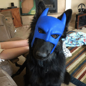 My German Shepherd's secret identity is BatDog: My German Shepherd's secret identity is BatDog