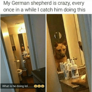 Crazy, Lol, and Target: My German shepherd is crazy, every  once in a while I catch him doing this  What is he doing lol hashtagdion: he is becoming self aware