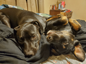My girls trying to cheer me up during a bad pain day! Sadie, one year old pit/lab and Lulu, four month old aussie/rott/lab.: My girls trying to cheer me up during a bad pain day! Sadie, one year old pit/lab and Lulu, four month old aussie/rott/lab.