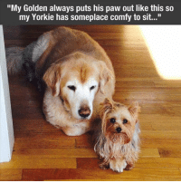 """Yorkie: """"My Golden always puts his paw out like this so  my Yorkie has someplace comfy to sit..."""""""