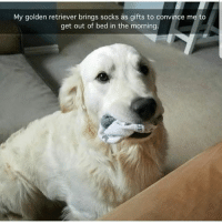 Memes, Golden Retriever, and 🤖: My golden retriever brings socks as gifts to convince me to  get out of bed in the morning.