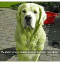 Funny, Smashing, and Hulk: My golden retriever decided to roll on the freshly mowed lawn HuLk SmAsH | More 👉 @miinute