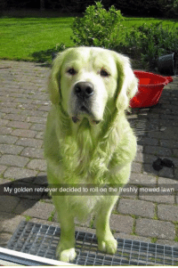 Memes, Golden Retriever, and 🤖: My golden retriever decided to roll on the freshly mowed lawn