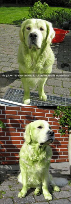 ohgod-awesome-posts:your golden retriever has evolved into an emerald retriever: My golden retriever decided to roll on the freshly mowed lawn ohgod-awesome-posts:your golden retriever has evolved into an emerald retriever